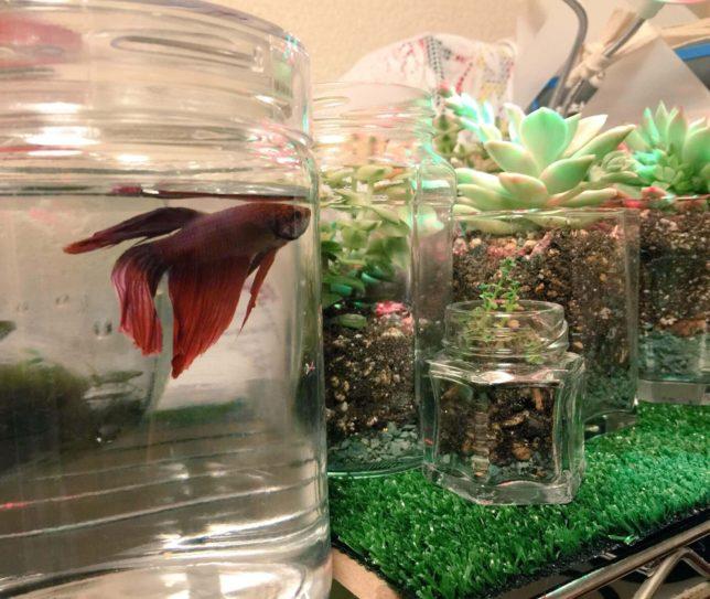 熱帯魚ベタと多肉植物のテラリウム