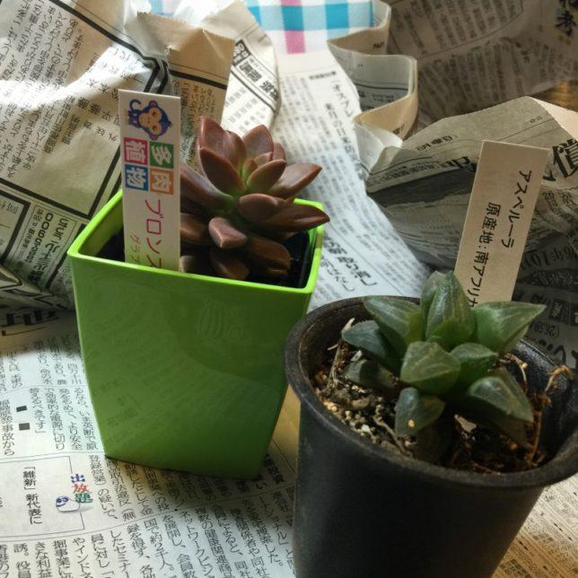多肉植物 ブロンズ姫とハオルチア(アスペルラ)
