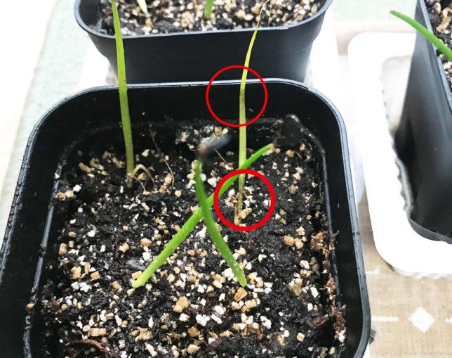 アガベ パリー 吉祥天 実生 種 育てる 育て方 土 やり方 初根 発芽